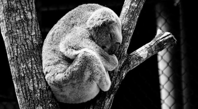 Strage di Koala in Australia