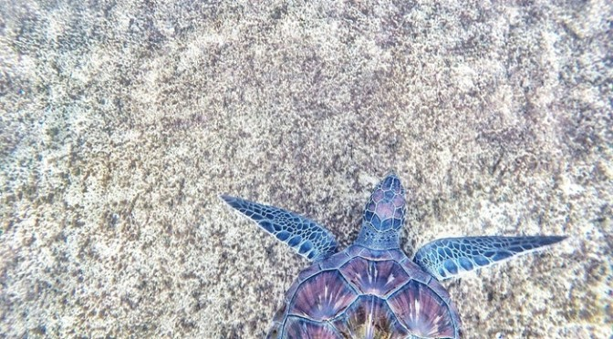 Ngulbitjik (Bare Sand Island, Australia): nidificazione di tartarughe marine